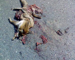 De monsterfiles komen bijzonder ongelegen voor tal van normaal gezien doodgereden dieren. (Foto: Wikipedia – Wolfmankurd)