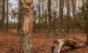 Twee dode bomen aangetroffen in Heverlee-bos