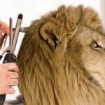 Overlegcomité bereikt compromis: kappers in dierentuinen mogen weer open