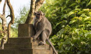Deze apen belasten toeristen met een dubbele energietaks om hem af te schaffen in ruil voor eten