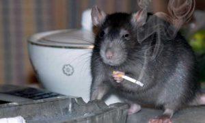Nieuwe Vlaams minister van Dierenwelzijn Ben Weyts wil Waalse rat voorgoed verdelgen