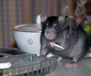 Ben Weyts wil voor eens en voor altijd komaf maken met de Waalse rat.
