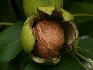 De noottoestand staat toe gevaarlijke vruchten, zoals de okkernoot, preventief te verwijderen van een tak.