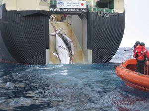 Dankzij Japans onderzoek weten we nu dat je walvissen kunt doden met puntige, metalen voorwerpen. (CC BY SA 3.0)