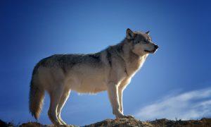 Terugkeer wolf bedreigt roodkapjespopulatie